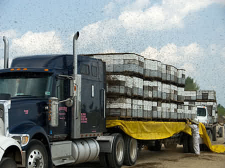 Beehives loaded onto a truck to be driven thousands of miles across America