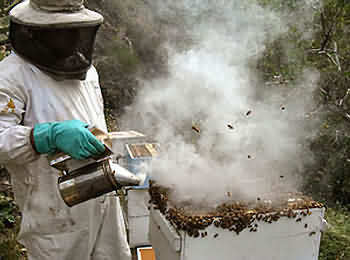 A beekeeper inspecting a hive using a smoker
