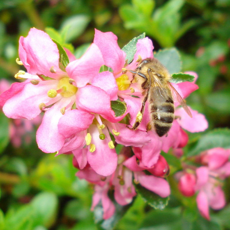 honeybee on escallonia flower